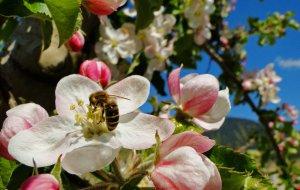 Apfelblüte Eisacktal