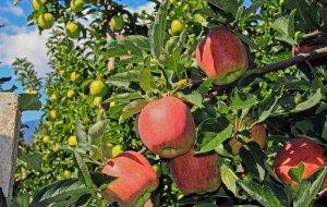Sunnseitn Apfelwochen in Natz