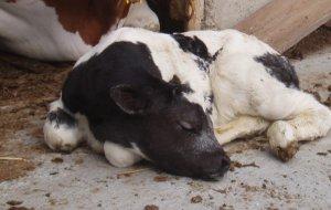 Streichelzoo - Kuh und Kalb