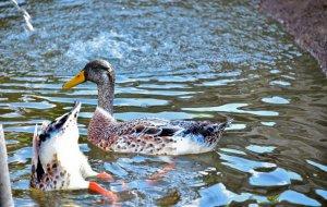 Streichelzoo - Enten