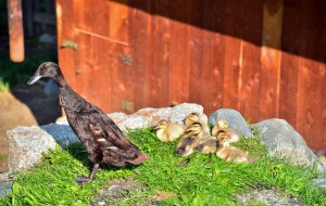 Streichelzoo - Entenfamilie